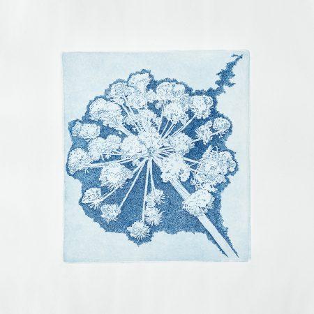 Herbarium Angelica archangelica